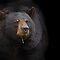 Bears - Family - Ursidae - (Land Mammals Category)