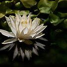 Glowing ivory waterlily by Celeste Mookherjee