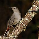 Grey Catbird by Bill McMullen
