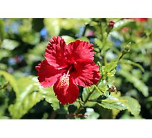 Hibiscus In, Hibiscus Out Photographic Print