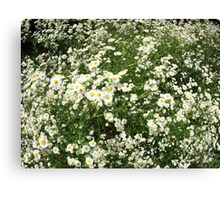 Large field overgrown with small white daisy flower Canvas Print