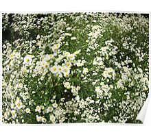 Large field overgrown with small white daisy flower Poster