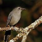 Grey Catbird Eating a Berry by Bill McMullen