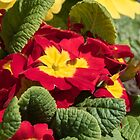 Red flowers yellow centres polyanthus or primulas Leith Park Victoria 201509240404   by Fred Mitchell