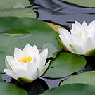 Lilies in a Pond by Martha Andreatos