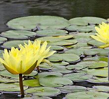 Lily Pond by Martha Andreatos