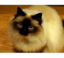 Birman Beauty Photographic Print