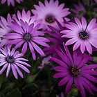 Various coloured Osteospermum blooms Leith Park Victoria 201509240405   by Fred Mitchell