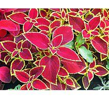 Red Coleus plant closeup Photographic Print