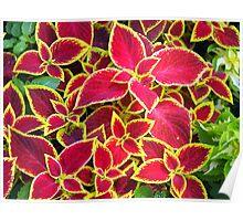 Red Coleus plants closeup Poster