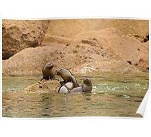 Seal Cubs at Play 2 Poster