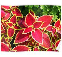 Decorative red Coleus closeup Poster
