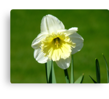 Vanilla And Cream!! - White Daffodil - NZ Canvas Print