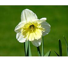 Vanilla And Cream!! - White Daffodil - NZ Photographic Print