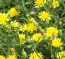 Thickets of small yellow flowers Picris Rigida Sticker