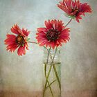 Gaillardia by Mandy Disher