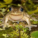 Male Peron's Tree Frog - Litoria peronii by Andrew Trevor-Jones