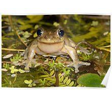 Male Peron's Tree Frog - Litoria peronii Poster
