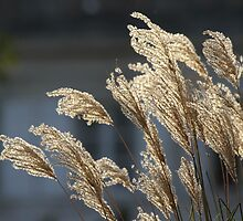 Reeds by Samantha Higgs