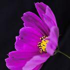 Purple Cosmos by JEZ22