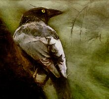 Currawong by Margi