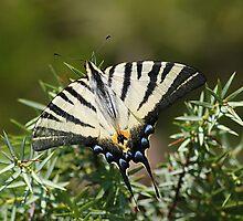 Swallowtail butterfly by Ana Belaj