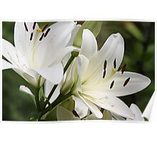 Fragrant White Asiatic Lily Poster