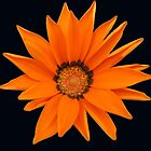 Glorious Orange Gazenia  by kathrynsgallery