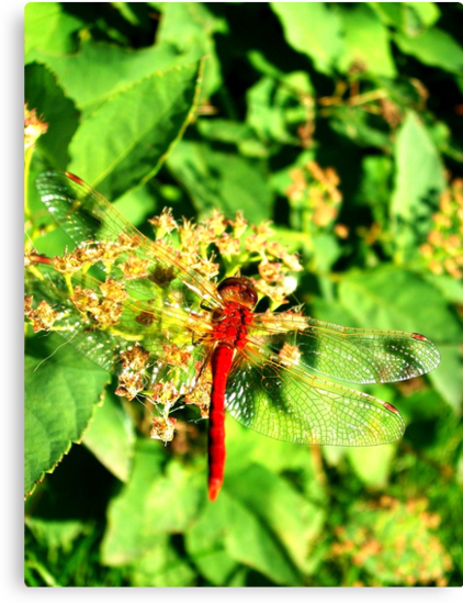 Red Dragonfly, Edmonton Alberta by Laura-Lise Wong
