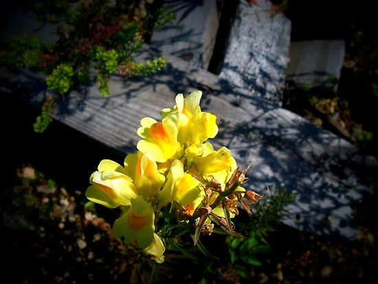 Snapdragons, Edmonton Alberta by Laura-Lise Wong