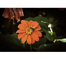 The foraging bee Photographic Print