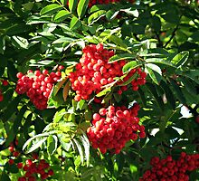 Clusters of Red Rowan Berries by BlueMoonRose