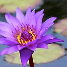 Lily in the Water Garden by Martha Andreatos