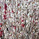 Spring Blossoms by Jason Scott