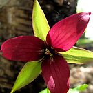 Red Trillium by hummingbirds