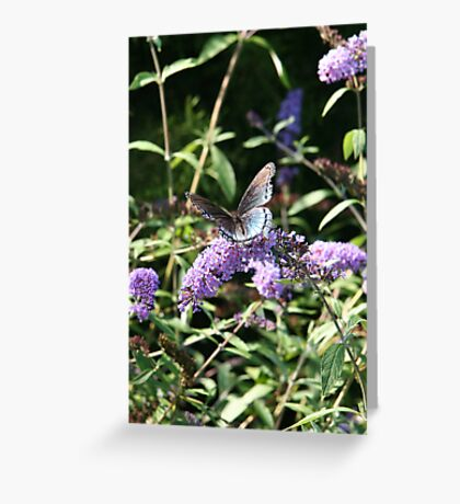 Butterfly Season - Red-spotted Purple Greeting Card