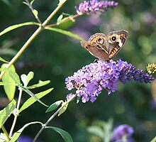 Butterfly Season - Common Buckeye 2 by WalnutHill