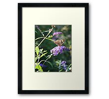 Butterfly Season - Common Buckeye 2 Framed Print