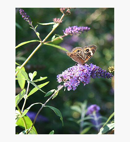 Butterfly Season - Common Buckeye 2 Photographic Print