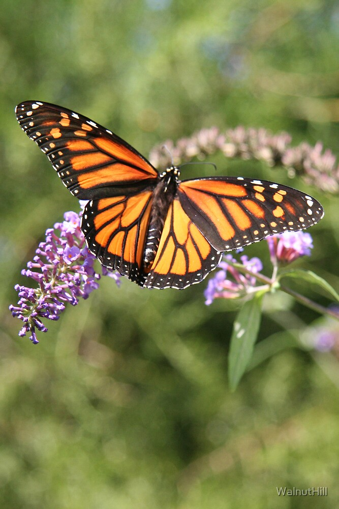 Butterfly Season - Monarch 2 by WalnutHill