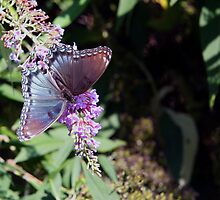 Butterfly Season - Red-spotted Purple 2 by WalnutHill
