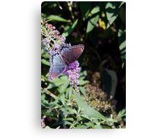 Butterfly Season - Red-spotted Purple 2 Canvas Print