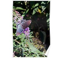 Butterfly Season - Red-spotted Purple 2 Poster