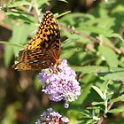 Butterfly Season - Great Spangled Fritillary 2 by WalnutHill