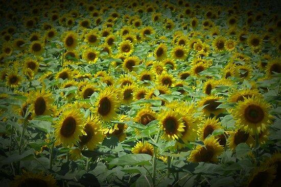 Sunflower Field Vignette by Debbie Robbins