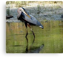 Great Blue Posing Canvas Print