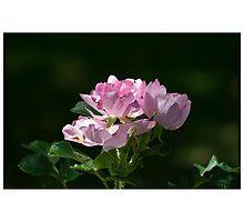 Pink Ocean Rose Photographic Print