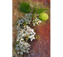 Plum Blossom Photographic Print