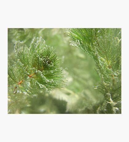 Christmas Weed  Photographic Print