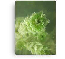 Bubble Eye Weed Canvas Print